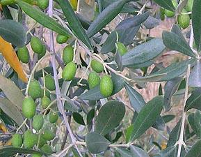 particolare di olivo