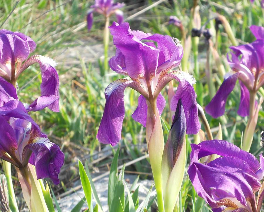 orchidea del Monte Pisano