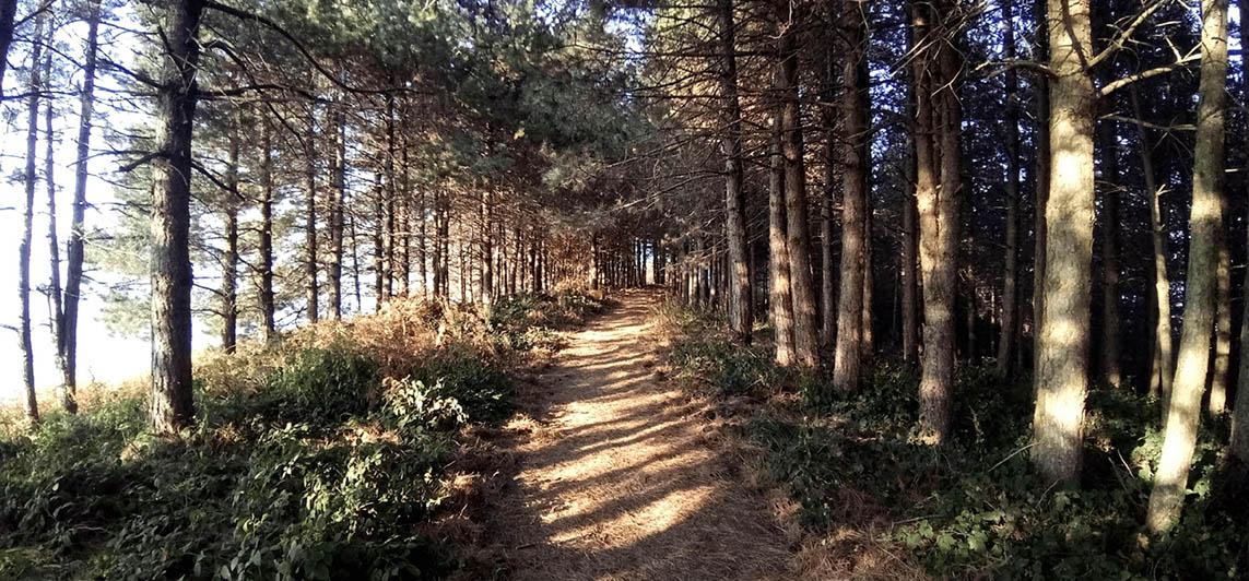 pino dei Monti Pisani